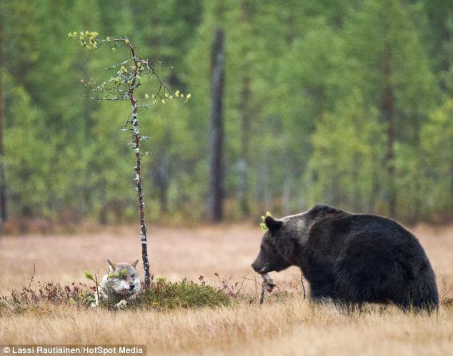 Крепкая дружба волчицы и бурого медведя