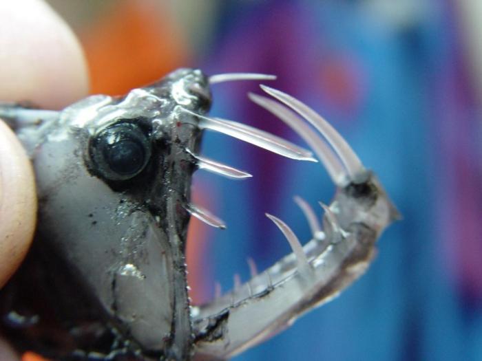 viper fish Wiper (hybrid striped bass) a nice willard bay wiper description: the wiper is a hybrid cross between a male white bass and a female striped bass.