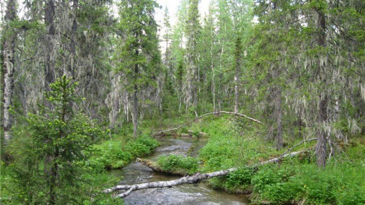 Первозданные леса Коми