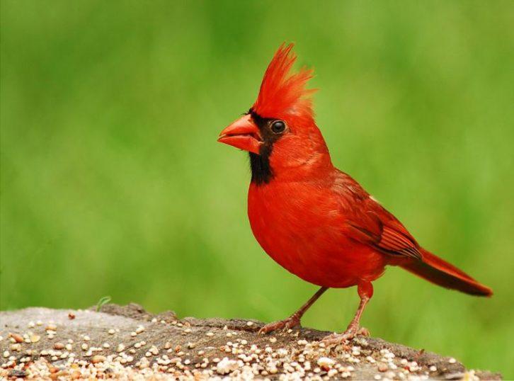 Красный кардинал или виргинский соловей