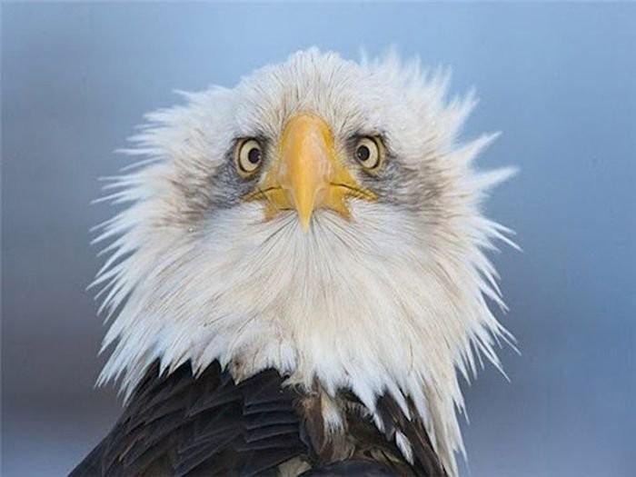 орёл белоголовый