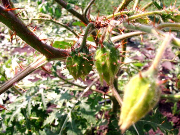 Поркупинский томат