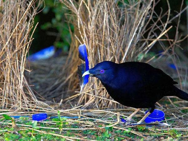 Птица шалашник
