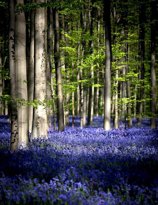 Халлербос – синий лес в Бельгии