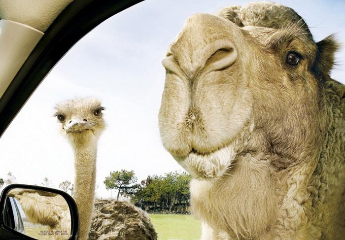 Верблюд и страус крупным планом