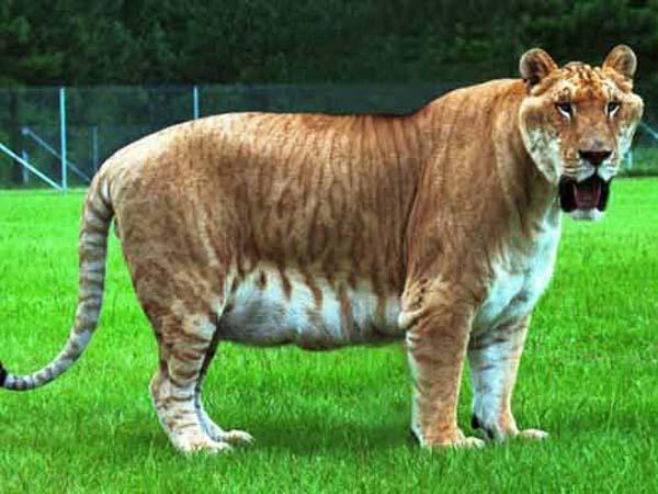 Лигр и тигролев