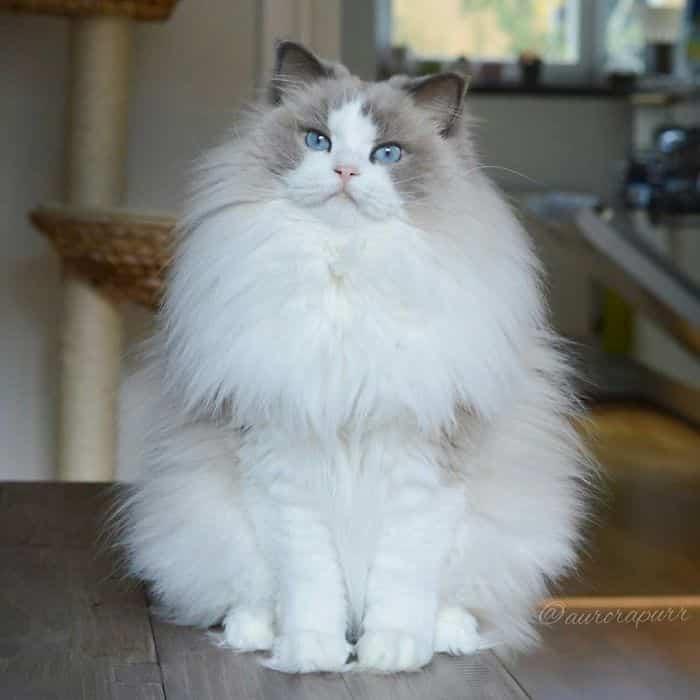 Кошка Аврора