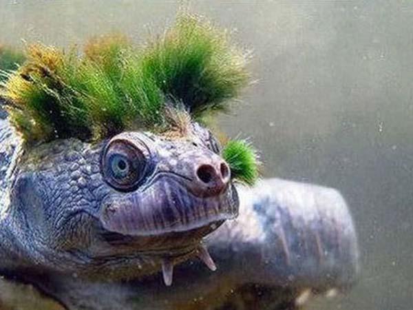 Черепаха реки Мэри