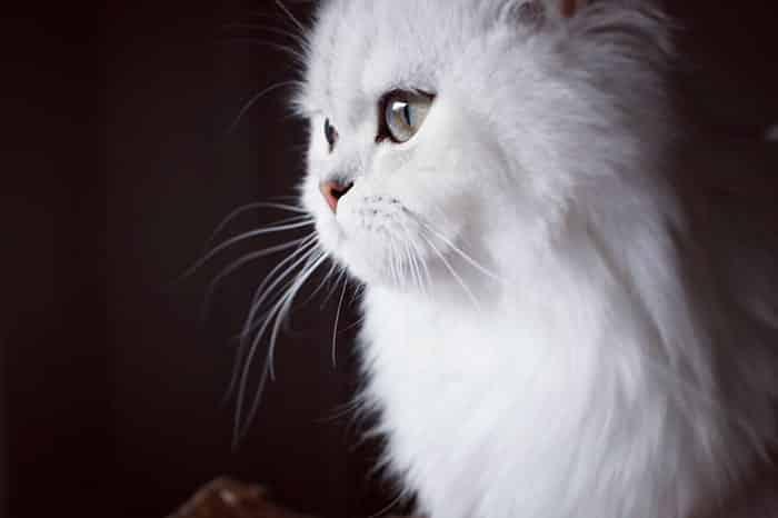 Кошка Белла
