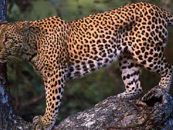 Левопард