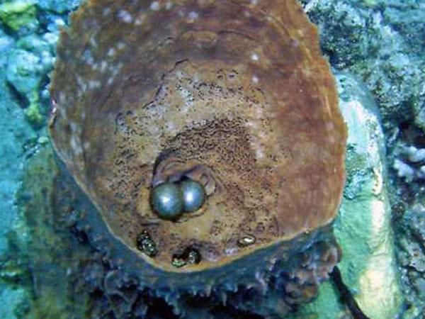 Яйца морских губок