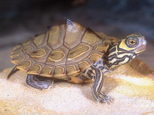 Шишковатая горбатая черепаха