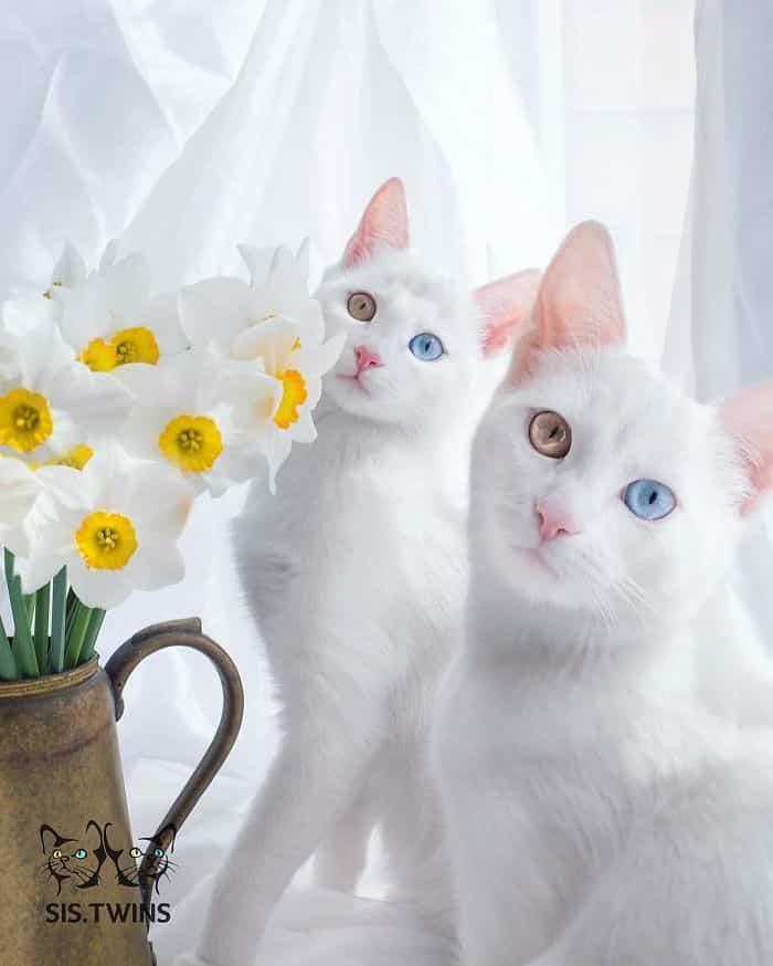 Кошки Ирис и Абис