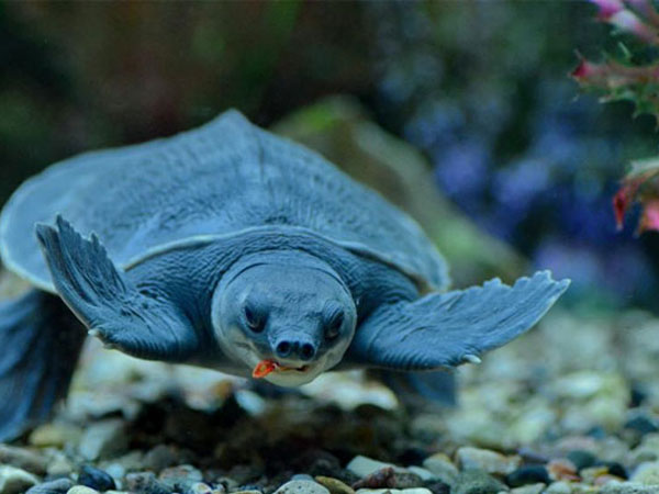 Свиноносая черепаха
