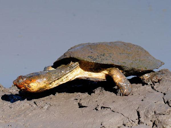 Африканская шлемоносная черепаха
