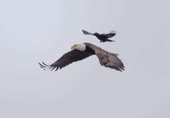 Самая наглая ворона оседлала грозного орла