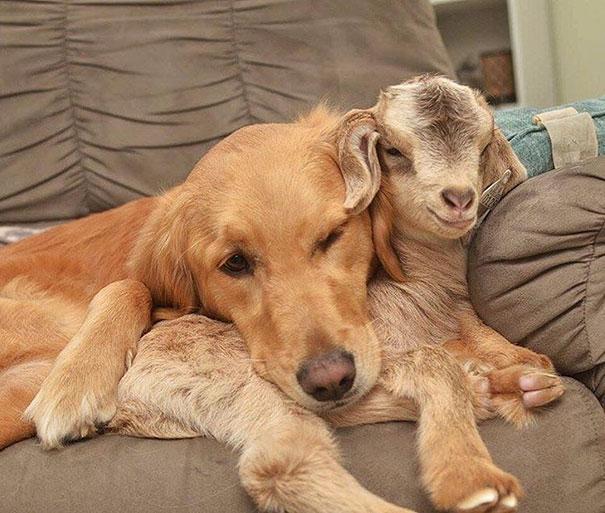 Самая заботливая мачеха для козлят – золотистый ретривер