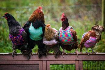 Для адаптации инкубаторских кур потребовалось связать свитера