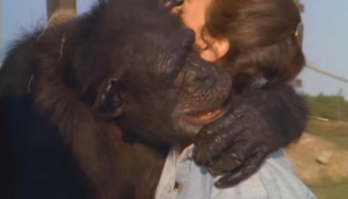 Шимпанзе вспомнила свою спасительницу спустя 18 лет