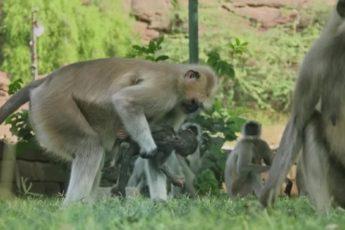 Стае обезьян подбросили куклу