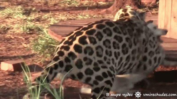 Когда ягуар схватил этого пса, то все ожидали худшее, но дальше произошло…