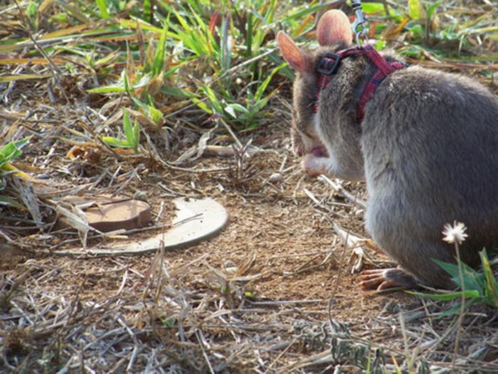 этих необычных крыс называют «маленькими героями»