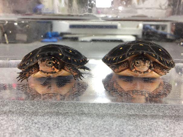 Две черепахи, а в отражении два мужика с бородой
