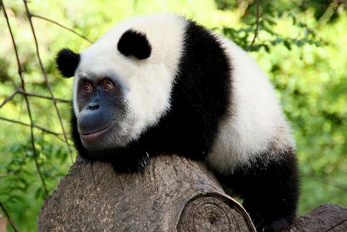 Гибридная панда