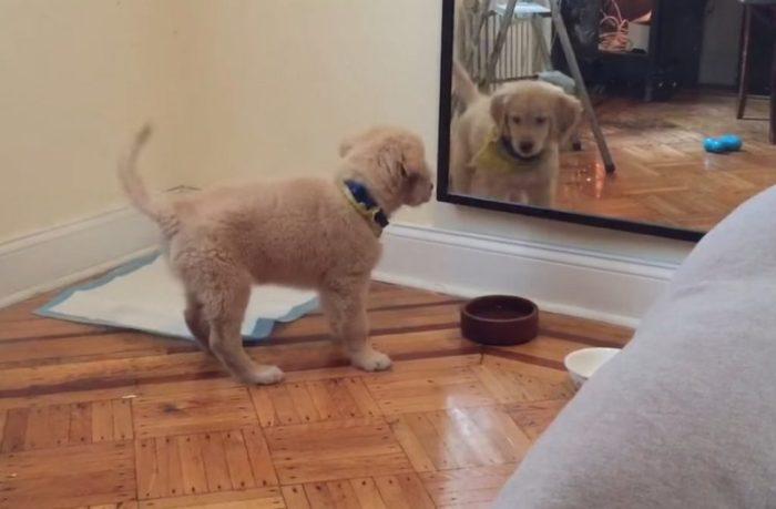 Щеночек первый раз видит своё отражение в зеркале