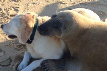 Тюлень подружился с лабрадором