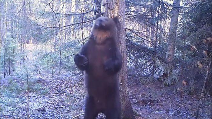 Медведь устроил в лесу зажигательные танцы и покорил интернет!