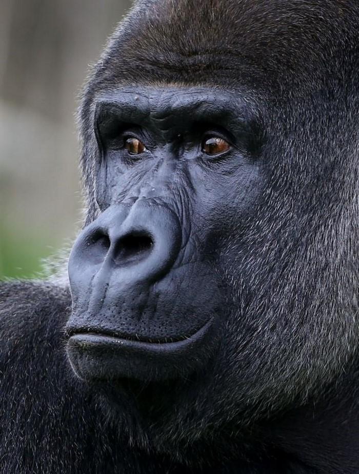самец горилла