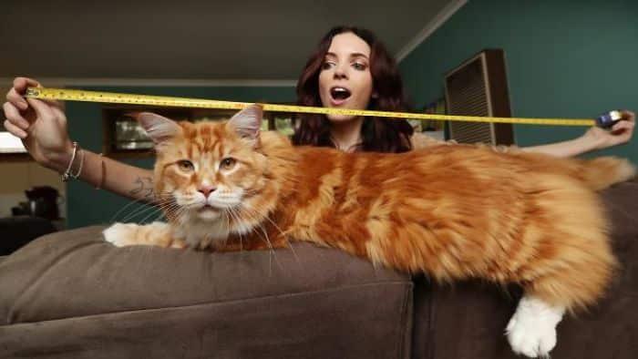 Самый огромный кот в мире