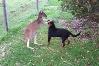 Кенгуру целует собаку