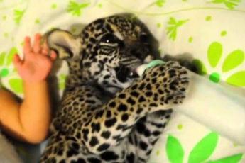 Малышка и ягуар пьют вместе молоко