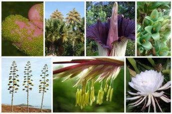 Растения, которые цветут только раз...