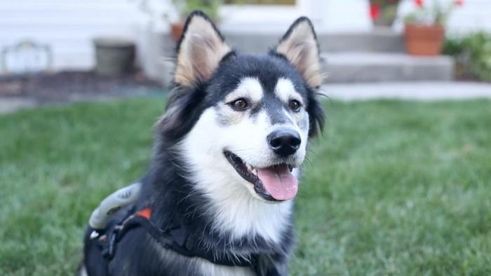 Эта собака снова может ходить благодаря 3D принтеру
