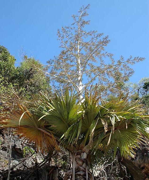 Мадагаскарская пальма (Tahina spectabilis).