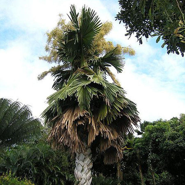 Талипотовая пальма