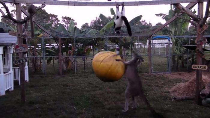 Кенгуру-боксер дерётся с грушей, над которой висит лемур