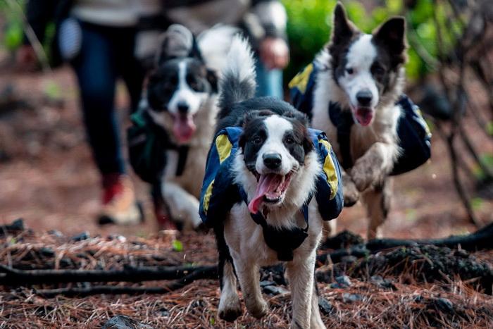 А дальше собак просто отпускают бегать по лесу