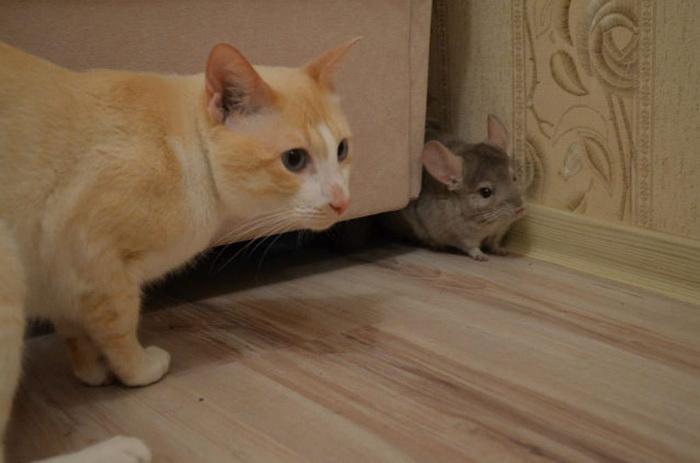 Удивительная дружба кота и шиншиллы