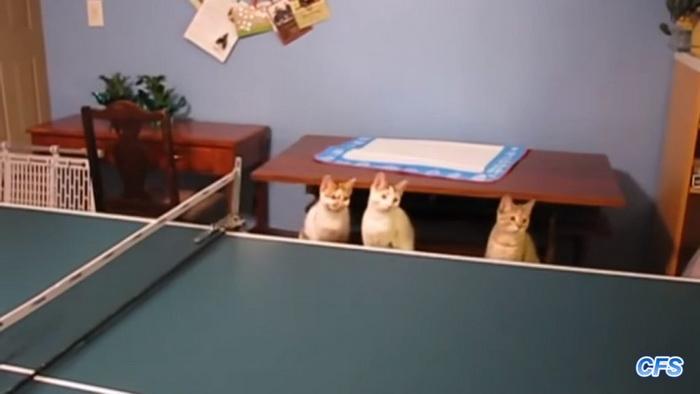 Коты-теннисисты