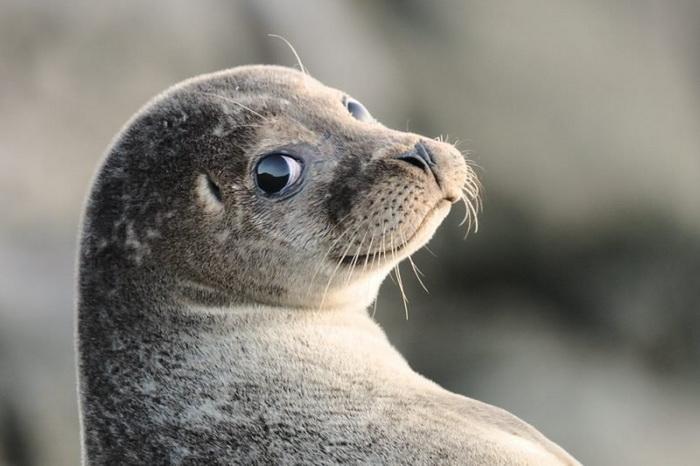 Милашка-тюлень подплыл к дайверам