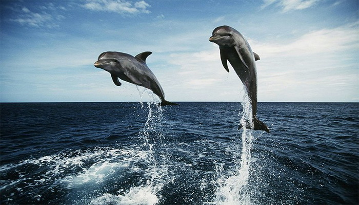 Реальная дружба дельфина и русалки