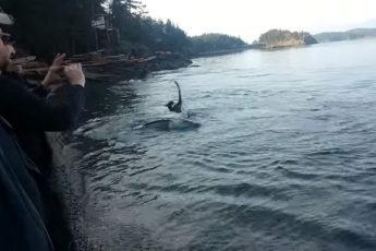 Дружелюбные косатки приплыли к берегу