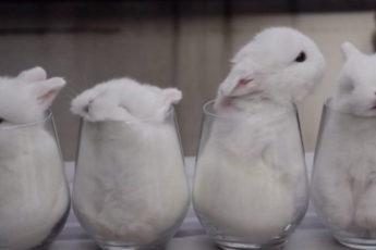 Эти белоснежные кролики-малютки похитят ваше сердце