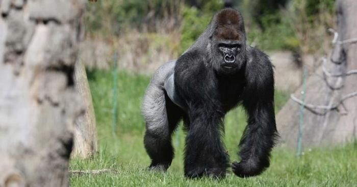 Турист замер на месте, когда к нему приблизилась семья горилл
