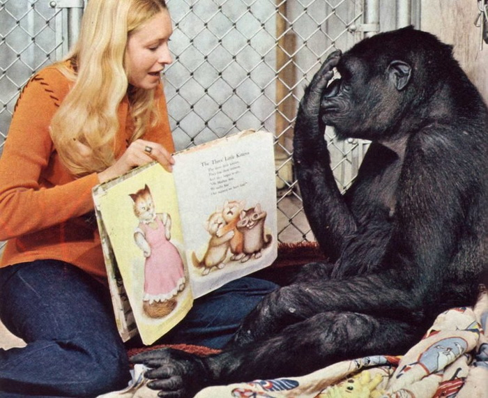 У знаменитой обезьяны Коко никогда не было своих детей