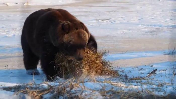 Медведь забавляется с сеном на Аляске